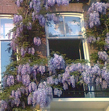 wisteria on amstel river in amsterdam