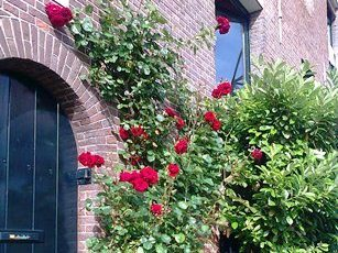 Roses in summer in Amsterdam
