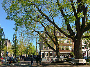 Pagoda trees (Sophora japonica) on Falckstraat