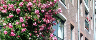 Roses along canal in Amsterdam